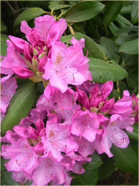 rododendron wielkokwiatowy roseum elegans rhododendron. Black Bedroom Furniture Sets. Home Design Ideas