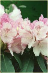 Rododendron jakuszimański Schneverdingen Rhododendron Schneverdingen