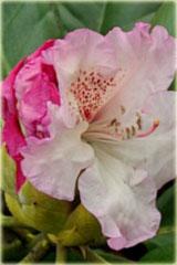 Rododendron wielkokwiatowy Simona Rhododendron Simona