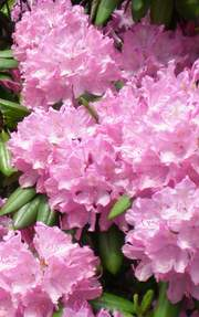 Rododendron wielkokwiatowy Anthony Waterer Rhododendron Anthony Waterer
