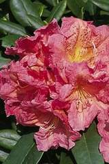 Rododendron wielkokwiatowy Balalaika Rhododendron Balalaika
