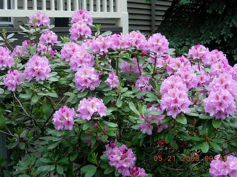 Rododendron wielkokwiatowy Bangkok Rhododendron Bangkok