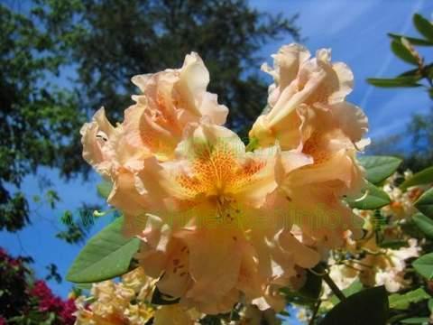 Rododendron wielkokwiatowy Bernstein Rhododendron Bernstein