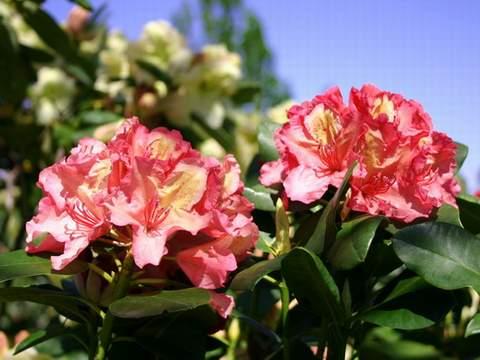 Rododendron wielkokwiatowy Brasilia Rhododendron Brasilia