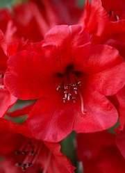 Rododendron wielkokwiatowy Busuki Rhododendron Busuki