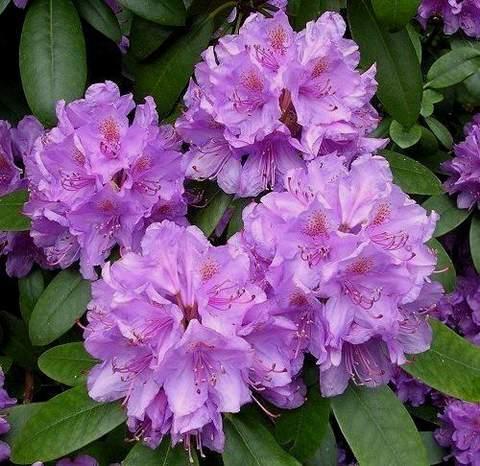 Rododendron wielkokwiatowy Catawbiense grandiflorum