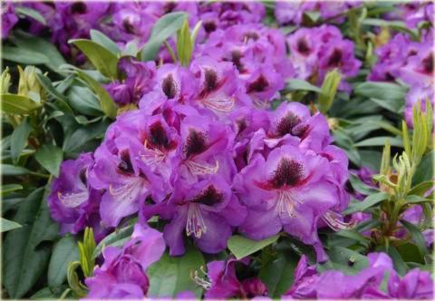 Rododendron wielkokwiatowy Bariton Rhododendron Bariton
