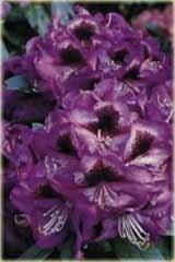 Rododendron wielokwiatowy Bariton Rhododendron Bariton