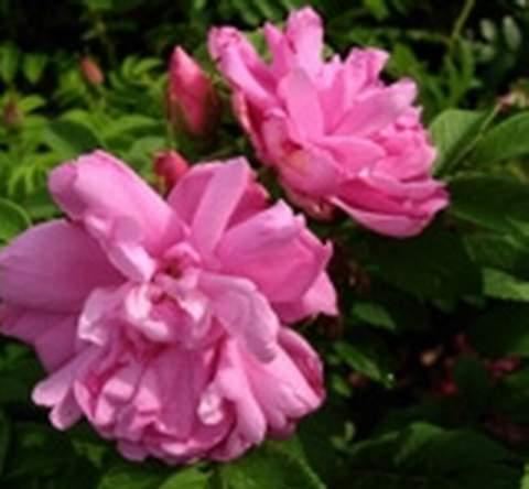 Róża jadalna różowa Passion Rokoko Rosa rugosa Passion Rokoko