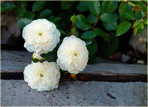 Róża okrywowa biała Swany Ground cover white rose Swany