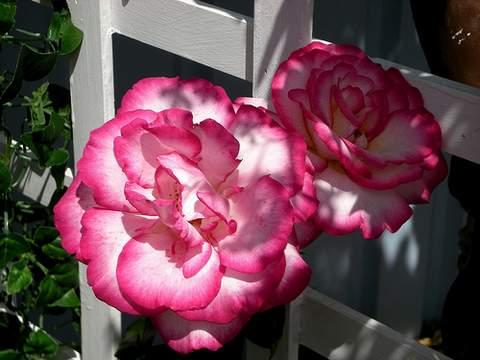 Róża dwukolorwa biało-różowa Handel Climbing rose white-pink Handel