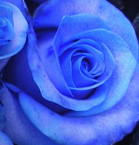 Róża pnąca niebieska Indigolette Climbing rose blue Indigolette