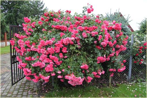Róża pnąca różowa Parade Climbing rose pink Parade