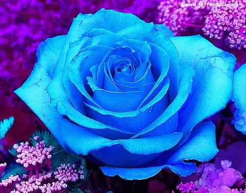 sky blue roshe  ... wielkokwiatowa niebieska Blue Sky